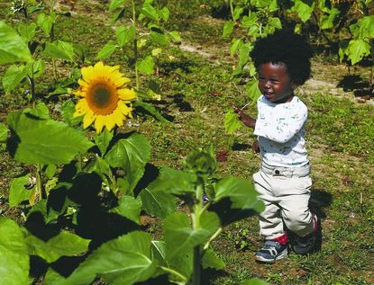 Boss Mick Nightwing, checks out the colorful sunflowers at the Queen Anne's Farm & Pumpkin Patch just over the Anne Arundel County line on Central Avenue in Mitchellville, Maryland.