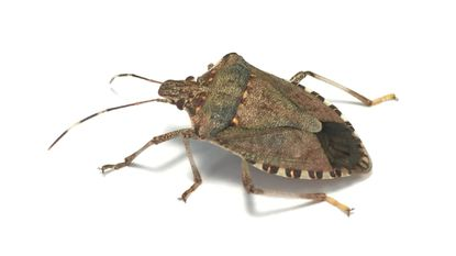 Garden Q A Are Brown Marmorated Stink Bugs Here To Stay