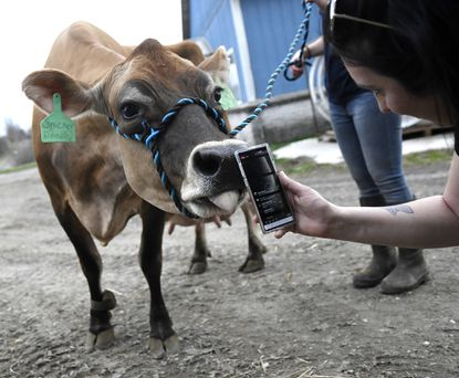 Marisa Little films a close up of Snickerdoodle, a jersey cow, during a Facebook Live tour of the Cow Comfort Inn dairy farm in Union Bridge Friday, March 20, 2020.