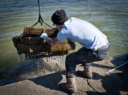 An employee of the Hollywood Oyster company in Maryland pulls oysters out of the water.