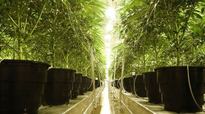 Marijuana plants grow in the flowering room at Illinois Grown Medicine, a medical marijuana cultivation center in Elk Grove Village, on May 6.