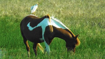 A cattle egret is seen on the back of Lady Hook, a Chincoteague Pony.