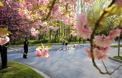 While most of Howard County's cherry trees are not expected to reveal peak blooms for another month, the county's annual Cherrybration celebrated begins April 1.