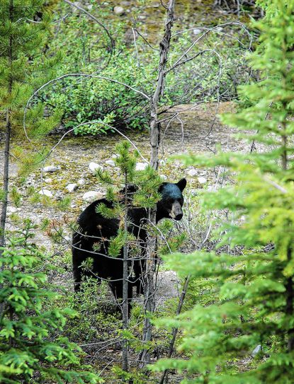 A record 167 black bears were reported harvested during the 2016 season in Maryland.