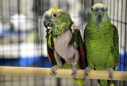 Two birds are seen in the shelter at Tennessee State Fairgrounds in Nashville, Tenn. after they have been rescued.