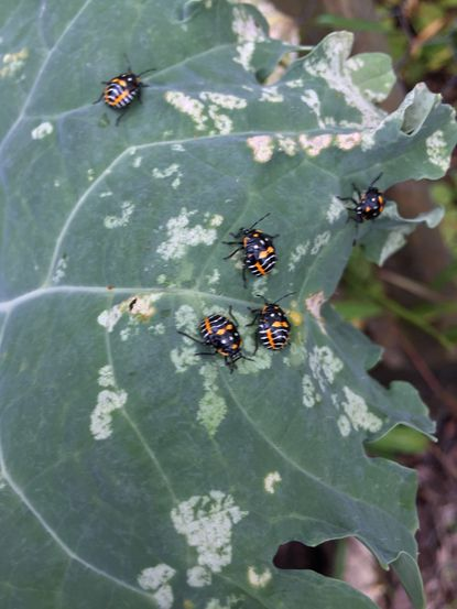 The feeding of harlequin bugs makes white spots or, in heavy infestations, makes vegetable leaves wilt, turn brown and die.