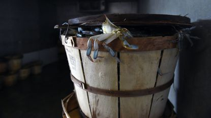 The Trump administration said Friday that it is making an additional 30,000 visas available so that businesses – including Maryland crab houses – will have sufficient migrant laborers. Females and small male Maryland blue crabs are shown in this 2018 photo from St. Michaels.