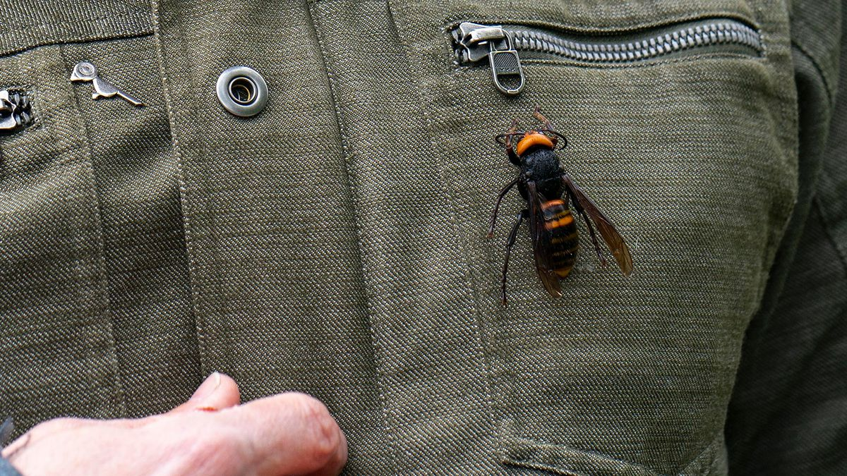 Murder Hornet A Deadly Pest Has Reached North America