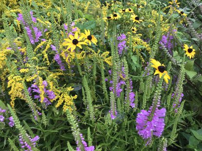 Flowering plants in this image include goldenrod, native black-eyed Susans and purple obedient plant or false dragonhead.