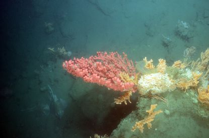 Corals growing in deep water from Long Island to Virginia recommended for protection from potentially damaging bottom fishing. Shown here, corals photographed in Wilmington Canyon during a NOAA submersible exploration in 2014.
