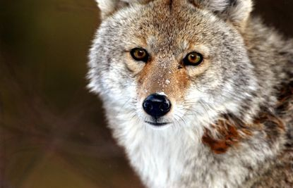 A coyote is shown in a 2004 file photo from Yellowstone National Park. A member of the species, rarely seen in Maryland, was hit by a vehicle in Arbutus on Jan. 4.