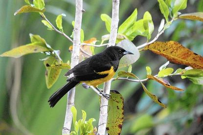 A research team from the University of Maryland Baltimore County went to Andros to learn more about the Bahama Oriole.