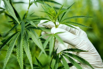 Maryland's medical marijuana program was established in 2013, granting licenses to grow and process medical cannabis. After five years of delays and complications, sales to approved patients by dispensaries finally began in 2017.