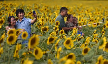 Visitors take selfies at the Sunflower field along Jarrettsville Pike.
