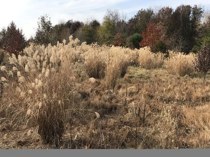 Miscanthus, also known as silvergrass, is an ornamental grass gone bad. - Original Credit: For The Baltimore Sun