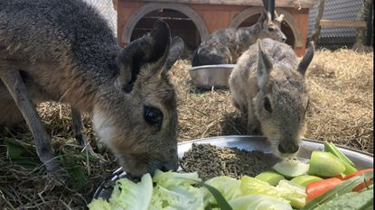 Cavies formerly housed at Deer Haven Mini Zoo near Keymar are pictured in their nighttime enclosure at Foster Parrot's sanctuary in Rhode Island.