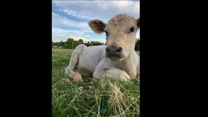 Jennifer Sully, 45, was sentenced to probation before judgment. Pictured is Sophie, a calf that was stolen from Braglio Farms and taken to an animal sanctuary in Virginia before being returned by police.