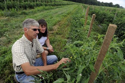 Joan and Drew Norman, owners of One Straw Farm examine tomatoes in their field.