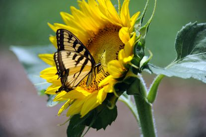 A tiger swallowtail butterfly on a sunflower in the Maryland Agricutural Resource Council (MARC) field.
