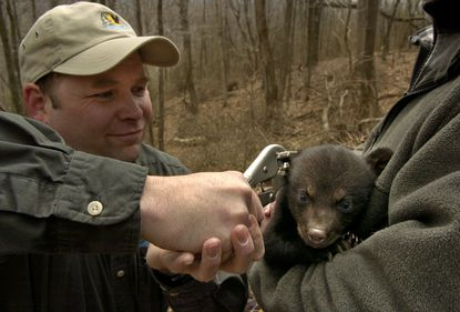 Harry Spiker attaches an ear tag to one of four cubs in Green Ridge State Forest. The Maryland Department of Natural Resources uses microchips to tag bear cubs so that they can monitored with a scanner.