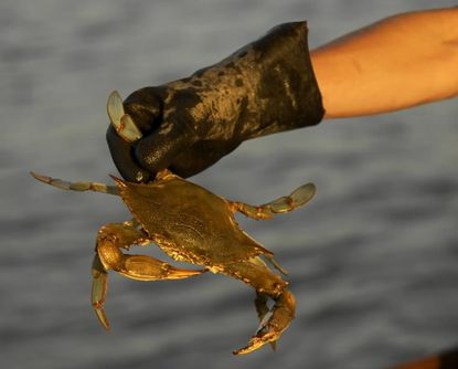 Goucher College poll finds majority of Marylanders favor a one-year moratorium on catching crabs in hopes of bringing back the Chesapeake Bay's slumping crustacean population.