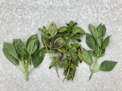 Basil downy mildew, shown on the middle clippings, is a new imported disease afflicting basil leaves with yellowish patches on the top surface and the fuzzy gray growth on the underside that become brown and dead. - Original Credit: For The Baltimore Sun