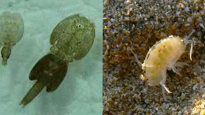 Jellyfish larvae, also called sea lice, and sand fleas might be found at the beach. Which showed up in Ocean City this summer, though, is unclear.