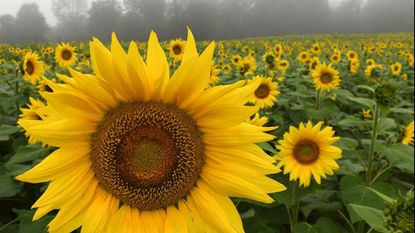 Fog hangs over the sunflower field in Jarrettsville over the weekend. A dense fog was expected through 10 a.m. Monday morning.
