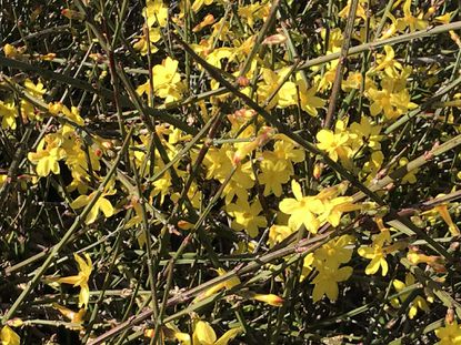 Though not native, winter jasmine flowers during the cold months and can be a useful addition to gardens. - Original Credit: For The Baltimore Sun
