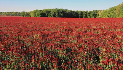 Crimson clover, over and over, on over 200 acres near Bel Air
