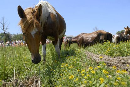 A wild Chincoteague Pony grazes at the landing site after the 86th annual Pony Swim on Wednesday, July 27, 2011.