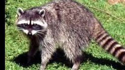 Exposure to a raccoon recently led to more than 12 people needing rabies shots. The Carroll County Health Department will be holding a rabies vaccination clinic from 2 to 4 p.m. Sunday, April 7, at the Carroll County Agriculture Center.