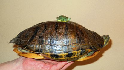 Baby turtles can be a hazard in a half-shell for the unprepared family