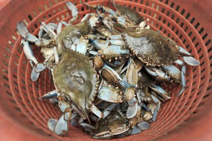 Crabs in the cooler of Salty Dog's Crab House are ready to be steamed.