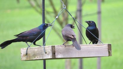 Three grackles eye up each other as they gulp down bird seed.