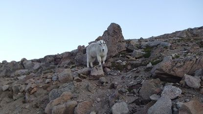 A mountain goat is shown on Mount Evans in Colorado.