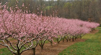 Peach trees are already in bloom at Larriland Farms.
