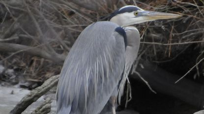 A great blue heron gingerly navigates the ice at Blackwater National Wildlife Refuge.