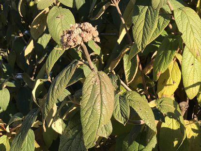Leatherleaf viburnum buds emerge in winter but don't bloom until the spring. - Original Credit: For The Baltimore Sun