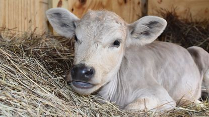 """""""Milly"""" or """"Sophie"""" the calf was stolen from Braglio Farms in Baltimore County and taken to Life with Pigs animal sanctuary in Williamsburg, Virginia, county police said. This photo is from the animal sanctuary."""