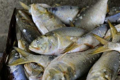 Watermen challenge menhaden catch limits