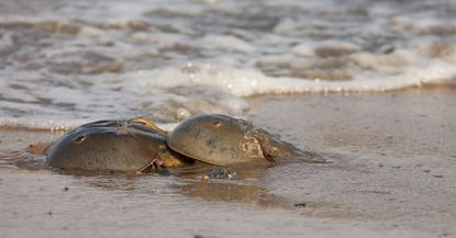 Horseshoe crabs, the plentiful, strange and ancient life form crawling beneath the Chesapeake waters, carry within them a highly-prized, copper-based, blue-colored blood that's used worldwide for testing vaccines and medical devices for toxins.