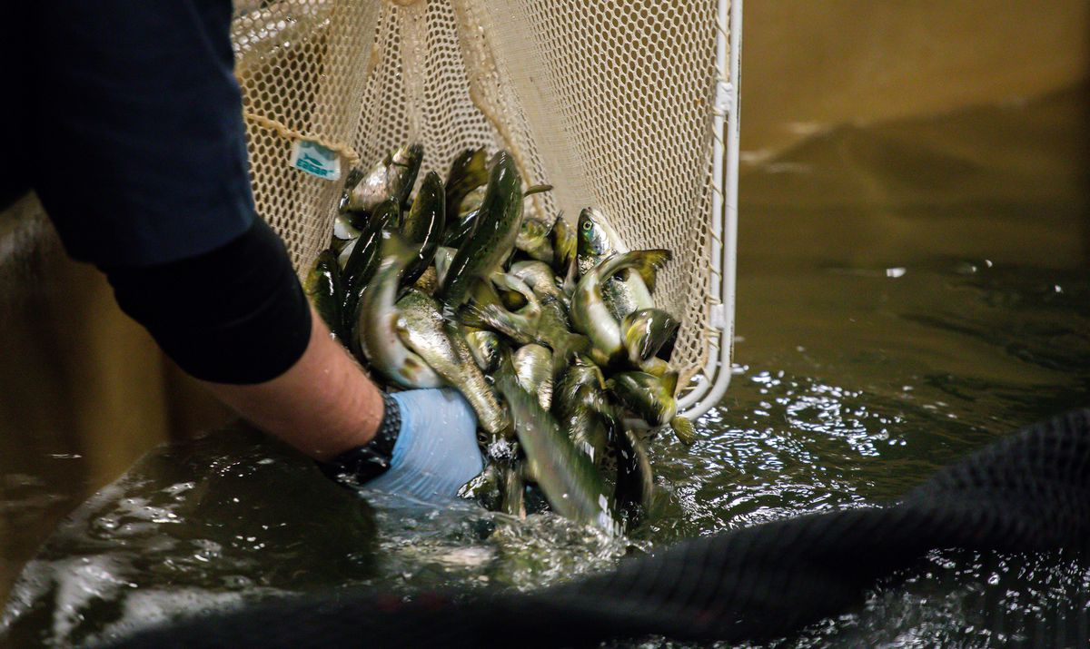 Aquaculture company plans to build massive salmon farms on Eastern Shore in partnership with UMBC and IMET researchers