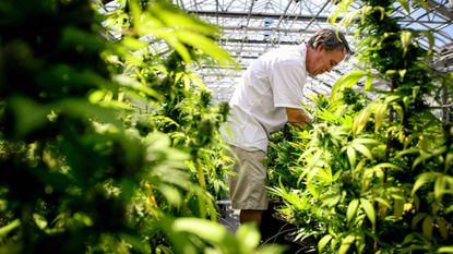 Guy Lindblom picks unnecessary leaves from mature cannabis plants in May 2015 so they can concentrate more of their energy into the flowering buds where the medicinal chemicals are produced at a greenhouse in Otsego, Minn.