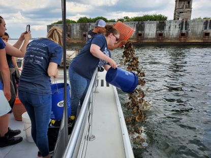 Great Baltimore Oyster Partnership volunteers pour oysters into the Patapsco River from aboard the Chesapeake Bay Foundation's education vessel, the Snow Goose, as part of their effort to bolster the area's oyster population.