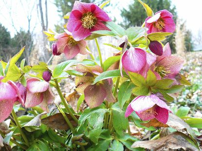 Hellebores have flowers for an incredibly long time -- late winter to May -- with petals in smoky purple, speckled mauve, white and pastel green.