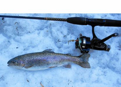 This Patapsco River rainbow posed for me before being returned to the slightly warmer river.