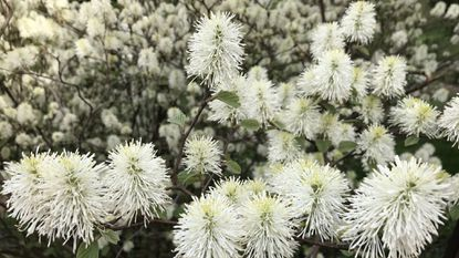The fothergilla has been commercially hybridized to emphasize its distinct spring bloom, as shown.