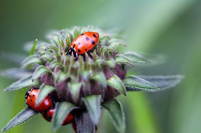 Lady beetles like these help keep aphids in check, but they have trouble rebounding from a strong pesticide.