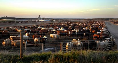 Cattle feedlot in Nebraska. While study looked only at the Netherlands, scientists suggest similar risks may exist in US communities near livestock herds.